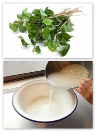 Bài thuốc trị ho từ lá diếp cá và nước vo gạo