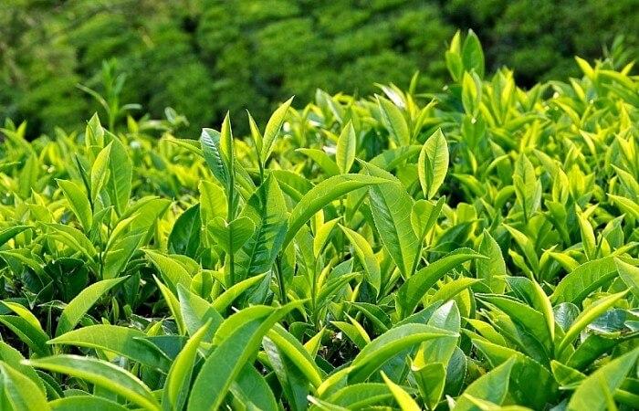 Trà xanh cũng là một nguyên liệu tự nhiên được nhiều người sử dụng để chữa bênh ra mồ hôi tay chân